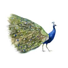Watercolor Illustration Peacock Image. Peacock Hand-drawn In Watercolor.