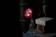 Pink Poppy In Dark Room