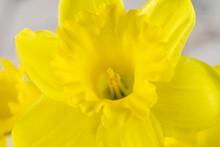 Beautiful Yellow Daffodil Close-up, Macro