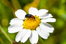 Insect  Springtime Scene Pollinating White And Yellow  Daisy Flowers On Summer