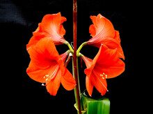 Bright Red Amaryllis, Also Known As Barbados Lily, On A Black Background -02