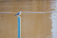 A Seagull On A Blue Pole Against The Background Of The River.