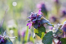 Lamium Purpureum, Known As Red Dead-nettle, Purple Dead-nettle, Or Purple Archangel. A Flowering Plant Covered With Frost On A Spring Morning. Place For Text.