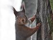 Neugierig schauendes Eichhörnchen am Baumstamm