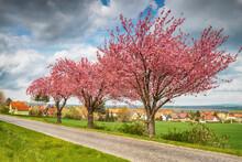Rosablühende Kirschbäume An Einer Landstrasse Mit Kopfsteinpflaster