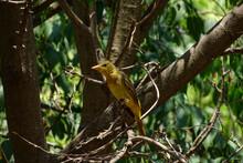 Bird (Piranga Rubra)