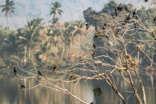 Carambolim Lake, Goa, India. The Indian Cormorants Sits On Tree Branches In Sunny Morning. Indian Shag Phalacrocorax Fuscicollis Is A Member Of The Cormorant Family