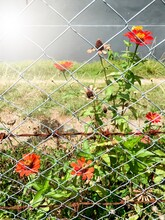 Fence Wire With Red Common Zinnia Flowers.