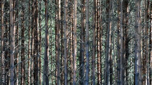 Ściana lasu , masa drzew - fototapety na wymiar