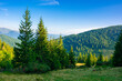 canvas print picture spruce trees on the mountain meadow. wonderful summer landscape in the morning. idyllic nature background of ukrainian carpathians
