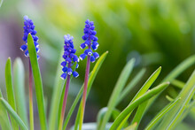 Muscari. Bell-shaped Blue Flowers, With A White Fringe, Of Muscari Armeniacum Surrounded By Green Basal Leaves, Close Up. Known As Armenian Grape Hyacinth Or Garden Grape-hyacinth, Asparagaceae.