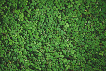 Natural Green Grass Or Clover Leaves  Can Be Use As Background