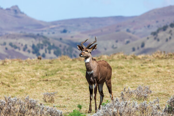 Beautiful horned animal, male of Mountain Nyala in natural habitat. Endemic antelope, Bale mountains Ethiopia, safari wildlife