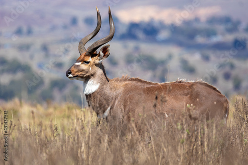 Beautiful horned animal, male of Mountain Nyala in natural habitat. Endemic antelope, Bale mountains Ethiopia, safari wildlife - fototapety na wymiar