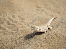 Calm Desert Roundhead Lizard On The Sand In Its Natural Environment.