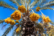 Clusters Of Yellow Dates Ripen On A Date Palm Against A Blue Sky