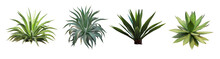 Set Collection Agave Plant Isolated On White Background.This Has Clipping Path.