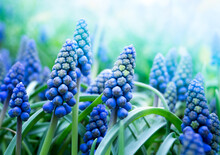 Blue Muscari Flowers In Green Grass. Macro Natural Background