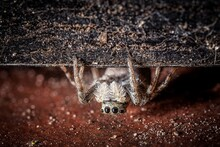 Closeup Shot Of A Hairy Gray And Scary Tarantula With Four Eyes Crawling