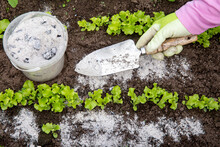 Gardener Hand Sprinkling Wood Burn Ash From Small Garden Shovel Between Lettuce Herbs For Non-toxic Organic Insect Repellent On Salad In Vegetable Garden, Dehydrating Insects.