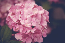 Branch Of Hydrangea Pink Flowers Close Up, Spring Floral Background And Texture. Retro Tone