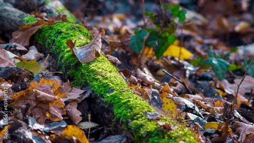 pień drzewa pokryty mchem pośród jesiennych liści oświetlony promieniami słońca - fototapety na wymiar
