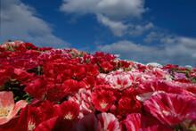 Garden Azalea Flower ; Godetia