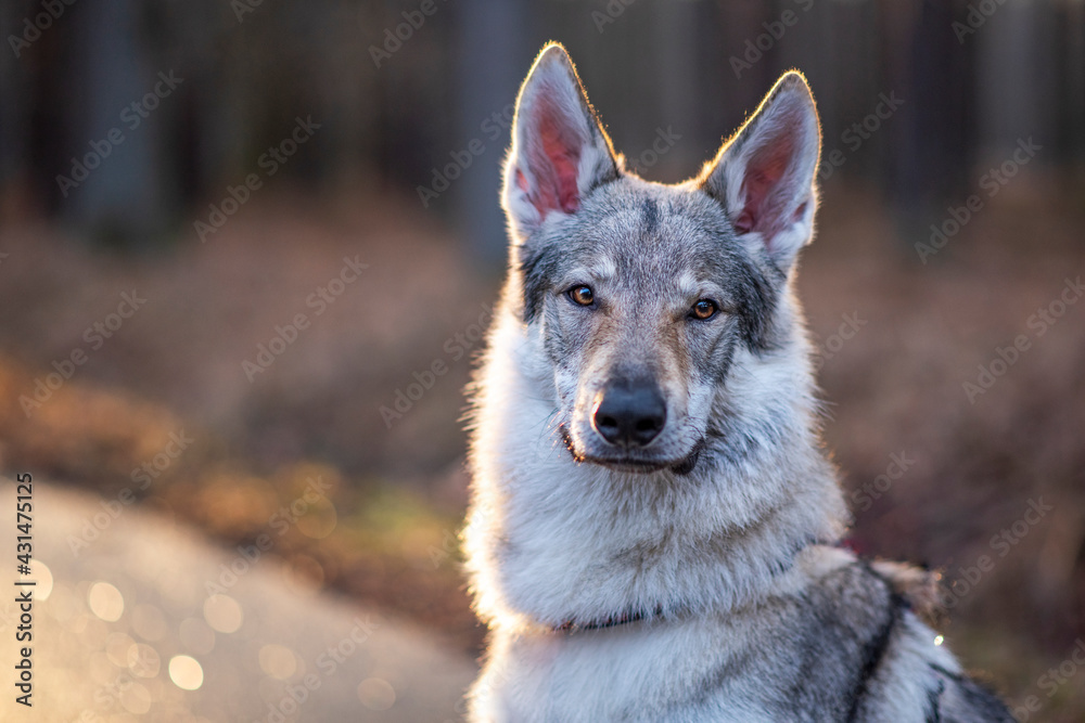 Fototapeta Portret psa wilczak czechosłowacki