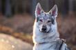 Portret psa wilczak czechosłowacki
