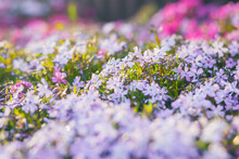 Pink Phlox Subulata. Background Of Flowers Phlox Subulata.
