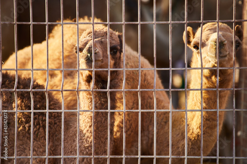 Fotomural Two camels in a cage at a camel market in Al Ain, UAE