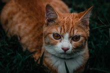 An Orange Cat Walking On The Meadow And Looking Up At Something