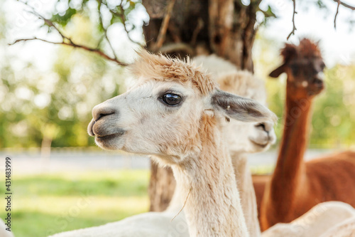Fototapeta premium Cute alpaca with funny face relaxing on ranch in summer day. Domestic alpacas grazing on pasture in natural eco farm countryside background. Animal care and ecological farming concept
