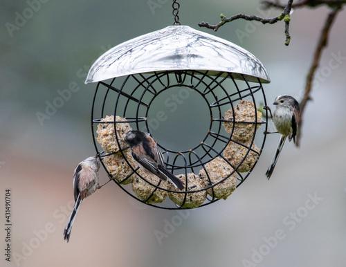 Fotografie, Obraz Garden birds. Long tailed tits on a fat feeder.
