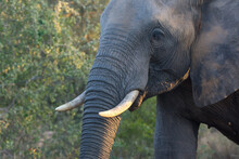 African Elephant (Loxodonta Africana) In Green Bush And Early Morning Sunlight.