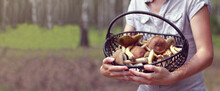 Gray Forest Mushrooms In A Wicker Basket Held By A Mushroom Picker Against The Background Of A Birch Grove. Hobbies And Outdoor Recreation