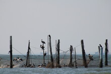 Pelicans Resting On Old Pilings And Netting