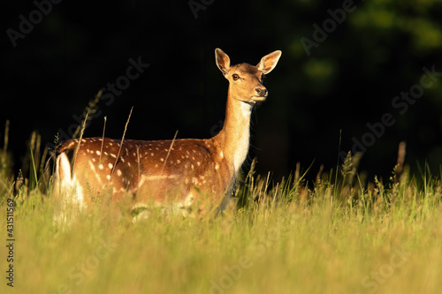Fotografie, Obraz Fallow deer hind looking on grassland in summer sunlight