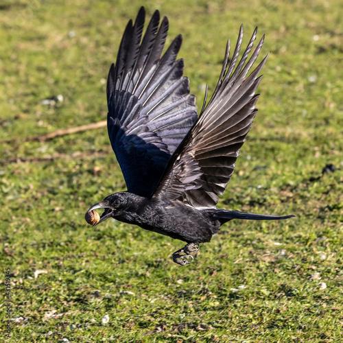Fototapeta premium The Common Raven, Corvus corax flying at Kleinhesseloher Lake in Munich, Germany