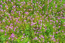 Wildflowers. Pink Flowers Of Wild Carnation ( Dianthus Caryophyllus ) Among Green Grass On Sunny Spring Day, Background