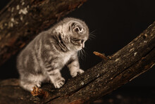 Gray Tabby Kitten Scottish Breed Sits On A Log On A Black Background At Night In The Park. Kitten Looking Into The Frame With Big Cute Eyes