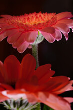 Closeup Of Beautiful Pink Gerbera Blossoms In Front Of A Black Background