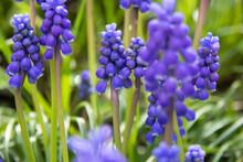Fresh Beautiful Spring Blue Muscari Flowers. Blue Flowers Blooming In The Garden, Selective Focus, Macro. Grape Hyacinths