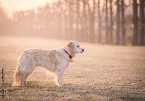 Fototapeta Dog on a frosty misty morning