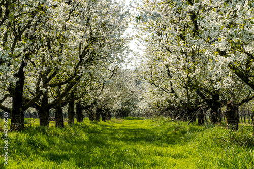 Wallpaper Mural Blooming apple orchard on a sunny day