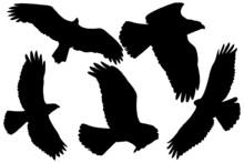 Birds Of Prey Silhouette In Black On White Background