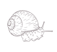 Hand Drawn Garden Snail Linear Sketch Isolated Vector Illustration In Vintage Style. Realistic Grape Cochlea Detailed Black And White Sketch. Engraved Animal For Label, Logo, Cosmetic Cream