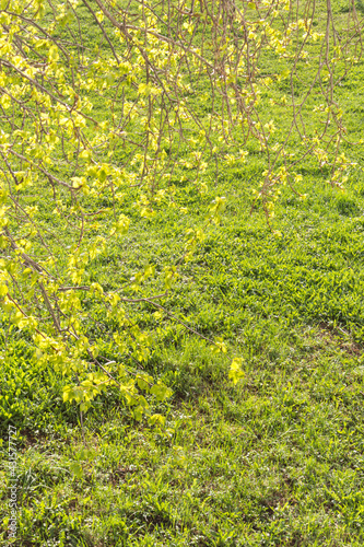Fotografie, Obraz Green spring background, young poplar leaves on grass background