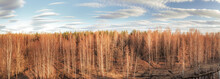 Spring Birch Forest Large Panoramic View