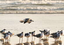 Laughing Gull Flying Over Seagull Colony At Daytona Beach Florida.